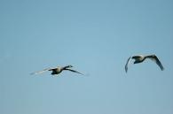 Cisne Vulgar/Cygnus olor