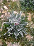Lengua de liebre/Cynoglossum cheirifolium