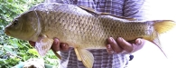 Carpa/Cyprinus carpio