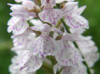 Dactylorhiza maculata/Dactylorhiza maculata
