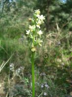 Dactylorhiza markusii/Dactylorhiza markusii