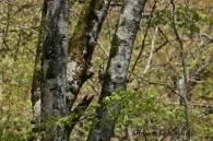 Pico Dorsiblanco/Dendrocopos leucotos