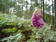 Digitalia/Digitalis purpurea