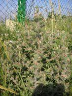 Echium asperrimum/Echium asperrimum