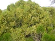 Ephedra fragilis/Ephedra fragilis