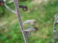 Epipactis parviflora/Epipactis parviflora