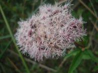 Eupatorio/Eupatorium cannabinum
