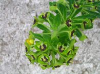 Tartago mayor/Euphorbia characias