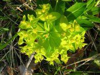 Euphorbia hyberna/Euphorbia hyberna
