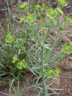 Euphorbia segetalis/Euphorbia segetalis