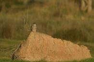 Esmerej�n/Falco columbarius