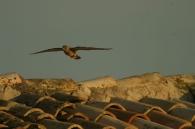 Cernícalo Primilla/Falco naumanni