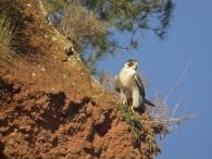 Halcón Peregrino/Falco peregrinus
