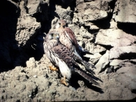 Cern�calo Vulgar/Falco tinnunculus