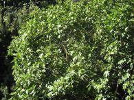 Higuera/Ficus carica