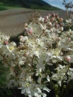 Filipendula/Filipendula vulgaris