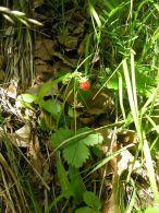 Fresa silvestre/Fragaria vesca