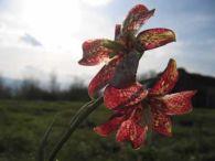 Tablero de damas/Fritillaria pyrenaica