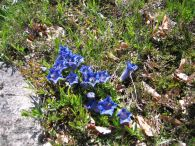 Gentiana occidentalis/Gentiana occidentalis