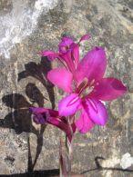 Gladiolo silvestre/Gladiolus italicus