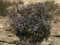 Coronilla de fraile/Globularia alypum