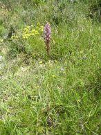 Gymnadenia conopsea/Gymnadenia conopsea