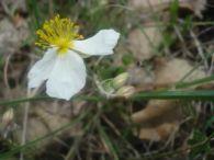 Jarilla blanca/Helianthemum apenninum