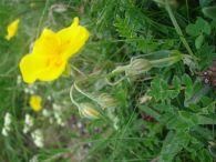 Jarilla amarilla/Helianthemum nummularium