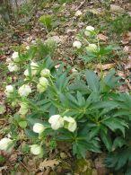 Heleboro verde/Helleborus viridis