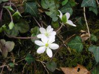 Hepática/Hepatica nobilis