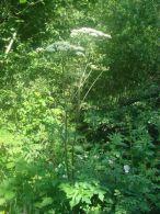 Espondillo/Heracleum sphondylium