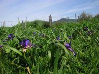 Iris graminea/Iris graminea