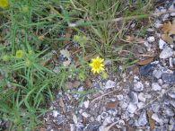 Te de roca/Jasonia tuberosa