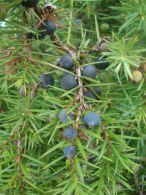 Enebro com�n/Juniperus communis