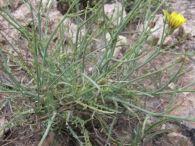 Launaea fragilis/Launaea resedifolia
