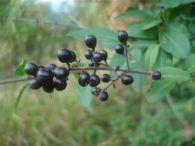 Aligustre/Ligustrum vulgare