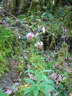 Azucena silvestre/Lilium martagon