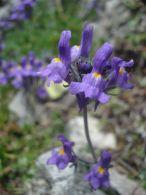 Linaria alpina/Linaria alpina