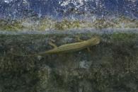 Tritón palmeado/Lissotriton helveticus