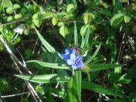 Mijo de sol de la flor azul/Buglossoides purpurocaerulea