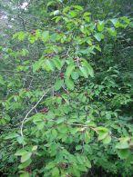 Cerecillo de europa/Lonicera xylosteum
