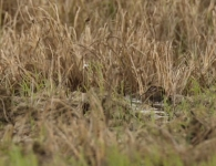 Agachadiza Chica/Lymnocryptes minimus