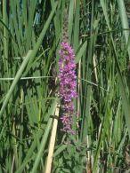 Salicaria/Lythrum salicaria