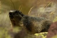 Marmota alpina/Marmota marmota