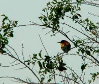 Abejaruco Com�n/Merops apiaster