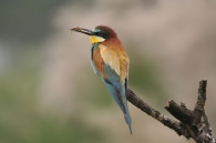 Abejaruco Común/Merops apiaster