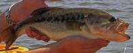 Perca americana, Black bass/Micropterus salmoides