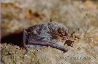 Murciélago de cueva/Miniopterus schreibersii