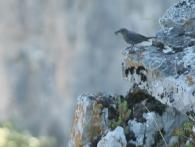 Roquero Solitario/Monticola solitarius