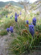 Muscari neglectum/Muscari neglectum
